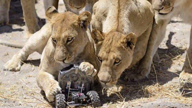 taviranyitasu-kameraval-oroszlanokrol-kepek-04